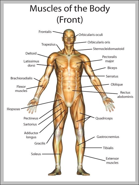 muscle diagram | Anatomy System Human Body Anatomy diagram and