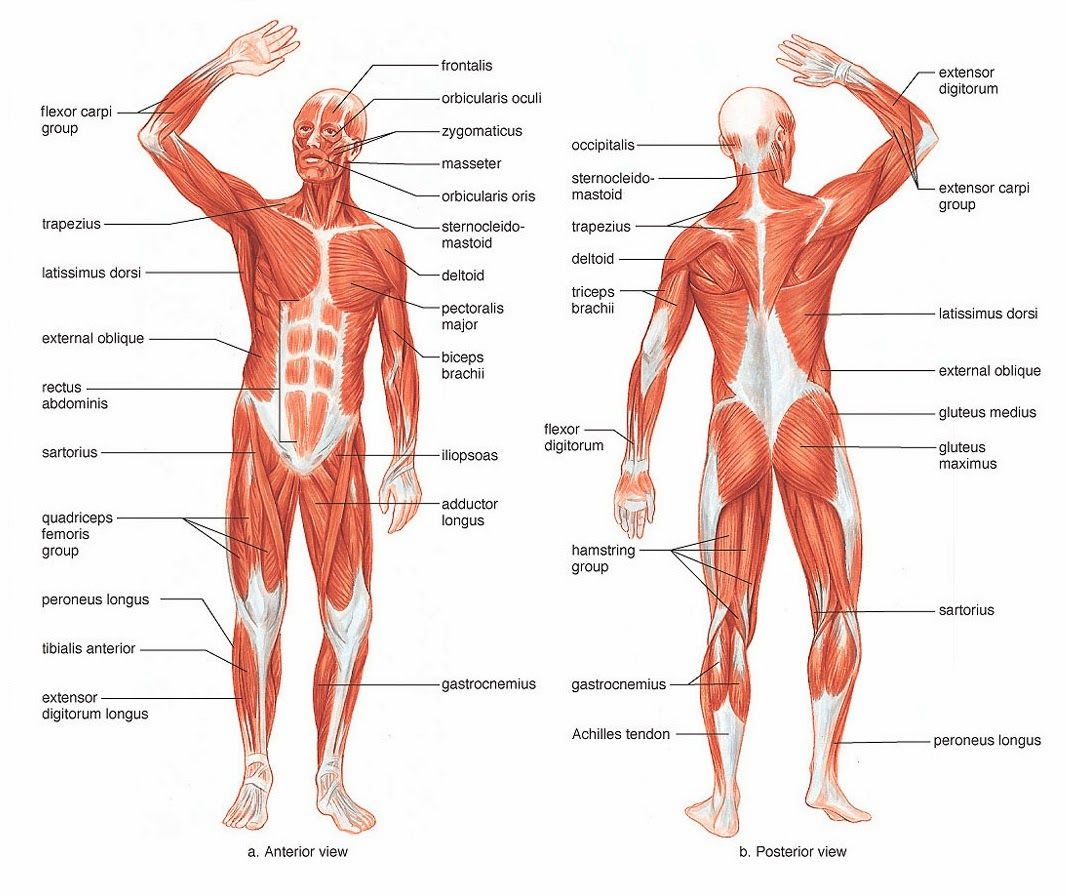 Muscle Diagram | You Can Do More!