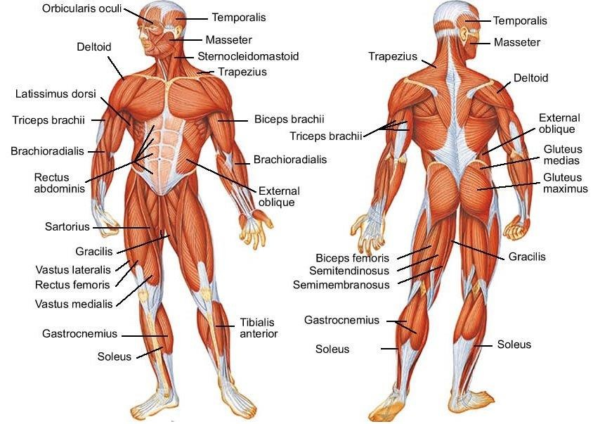 human anatomy muscles pdf muscle chart template human body