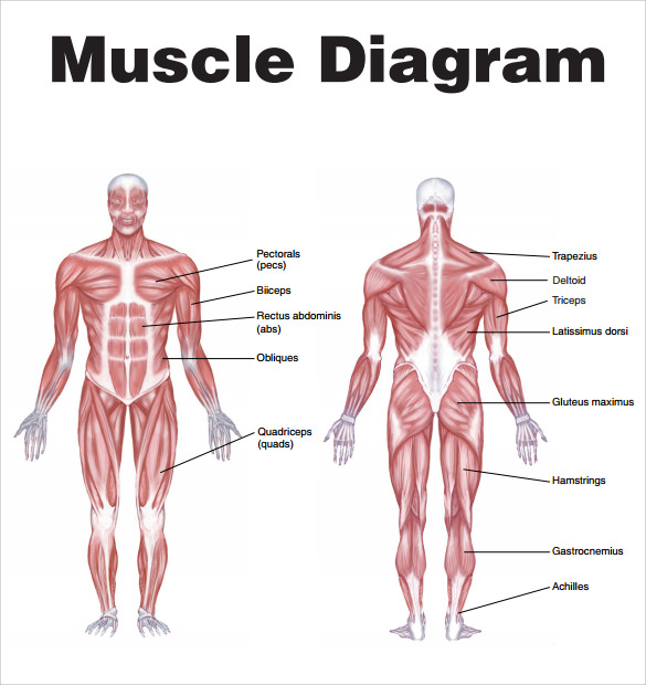Image result for muscle diagram of male body | F17 MENS