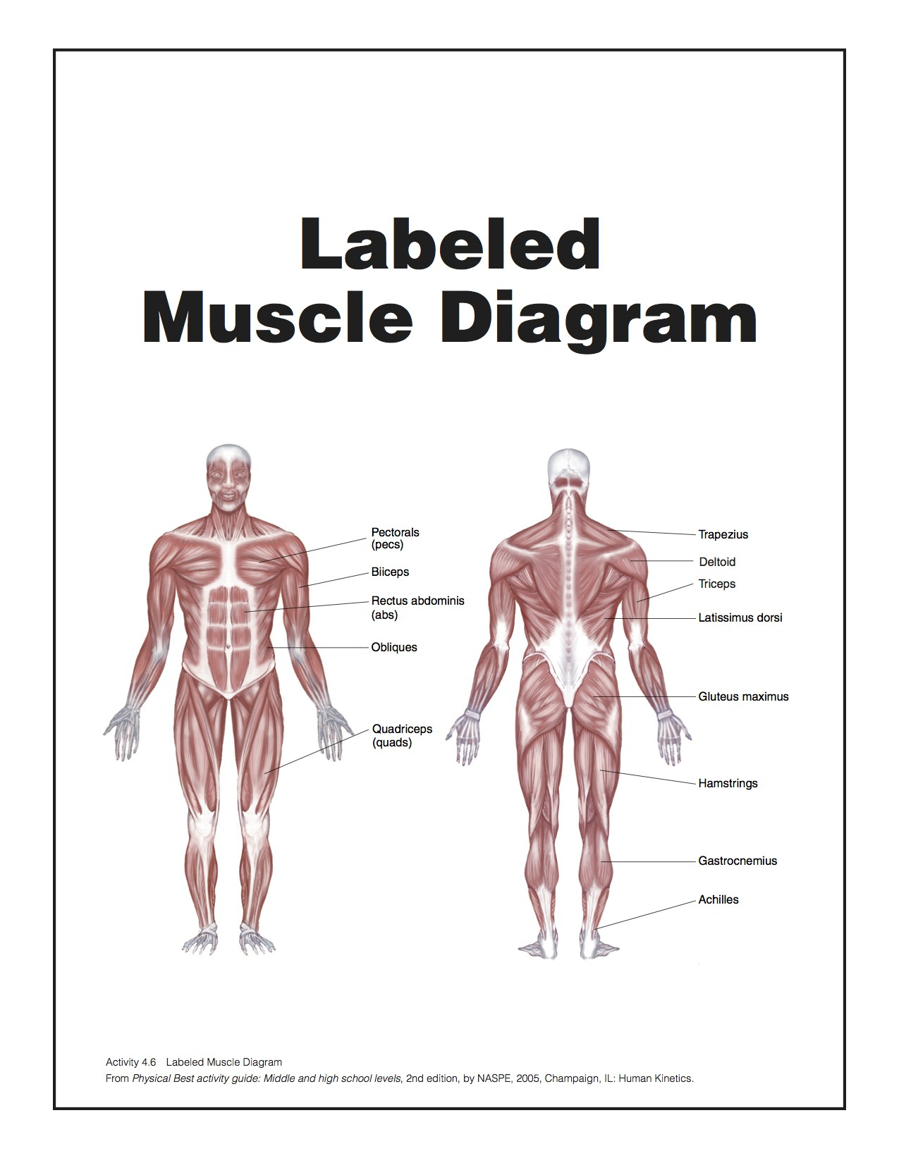 Muscle Diagrams of Major Muscles Exercised in Weight Training